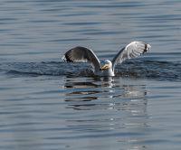 Из жизни птиц водоплавающих, часть 10