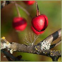 Красная Ягода и Белый Одуванчик